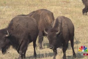 Safety details for the 55th Annual Governor's Buffalo Roundup