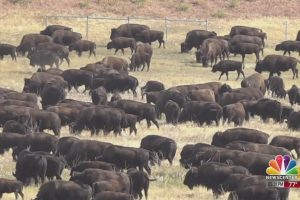 The 55th Annual Custer State Park Buffalo Roundup
