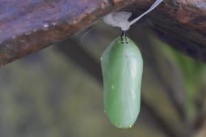 Construction stops to allow monarch caterpillars to undergo metamorphosis