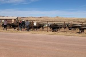 Preparing for the Custer State Park buffalo sale