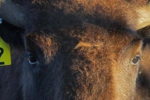 100 bison find a new home on the Wolakota Buffalo Range