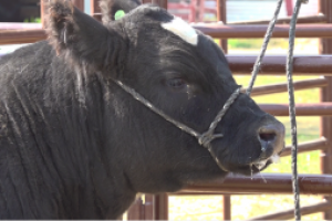The Western Junior Livestock Show sharpens skills of future ag producers