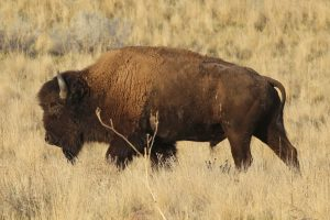 Center of Excellence for Bison Studies launches in Rapid City