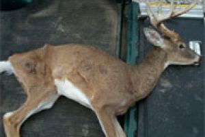 Chronic Wasting Disease detected in Lyman, Sully counties