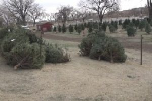 Online Christmas tree permit sales up as holiday nears