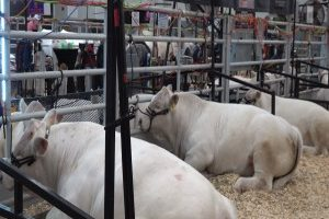 Utilizing specific cow species can ensure, maximize quality breeding