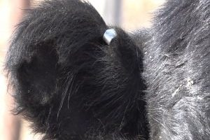 Local livestock producers weigh-in on new cattle tagging system