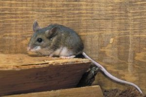 Doing some cleaning as the weather warms up? Watch out for Hantavirus while you do