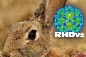 Rabbit Hemorrhagic Disease Virus 2 confirmed in South Dakota domestic rabbits