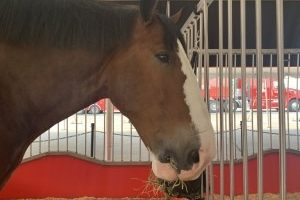 Just horsin' around – the Budweiser Clydesdales return to Sturgis