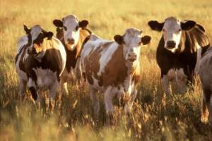 Cattle producers have a beef with 35-year marketing campaign